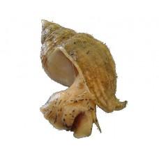 Whelks live